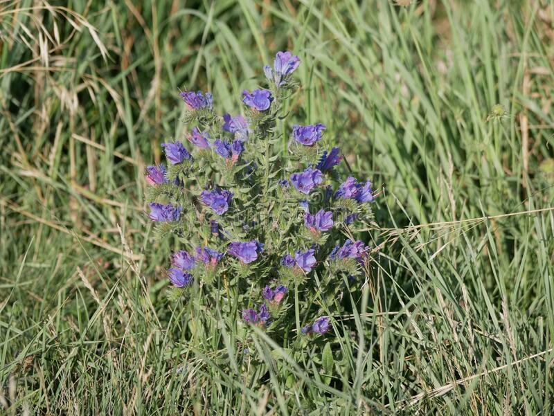 Blue wildflowers grow in a meadow among green grass on a Sunny summer day. Viper`s bugloss on the field. Light fragrance. royalty free stock photo