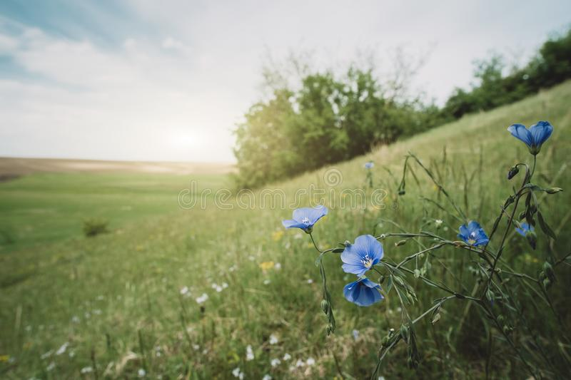 Blue wildflowers on the meadow stock photo