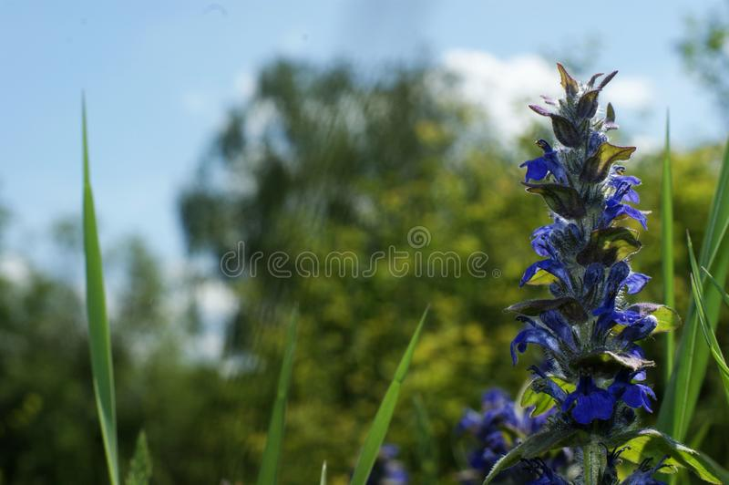 Blue wildflowers in the wild against a background of green grass and blue sky. A photo with a focus in the center of the frame and a shallow depth of field royalty free stock images