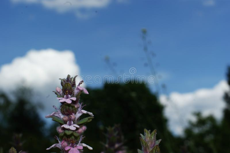 Blue wildflowers in the wild against a background of green grass and blue sky. A photo with a focus in the center of the frame and a shallow depth of field stock image