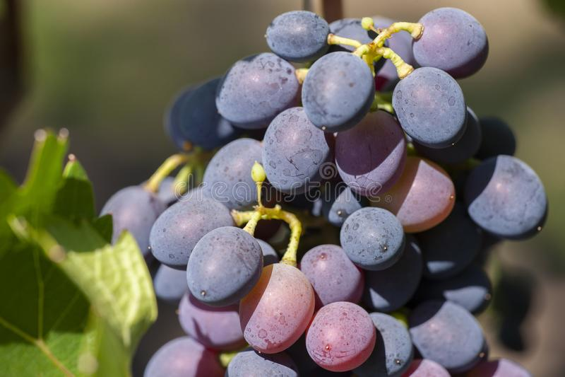 Blue Wine grapes on vine. Dark skinned grapevine, close up, banner stock photos