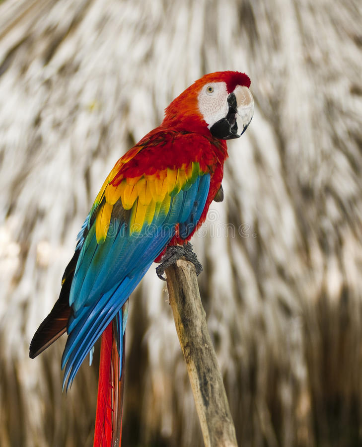 Blue wing red macaw. Sitting on tree royalty free stock images