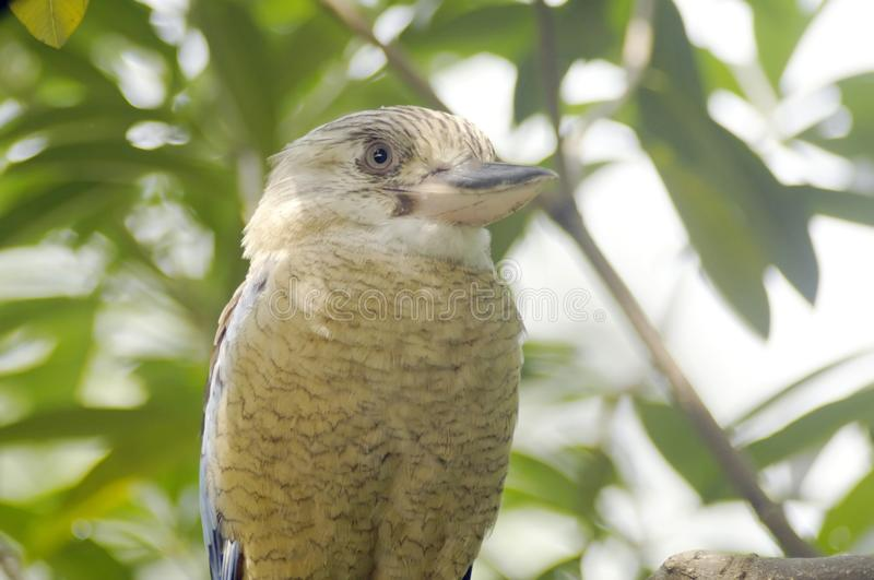 Download Blue-winged Kookaburra stock photo. Image of branch, kingfisher - 16777726