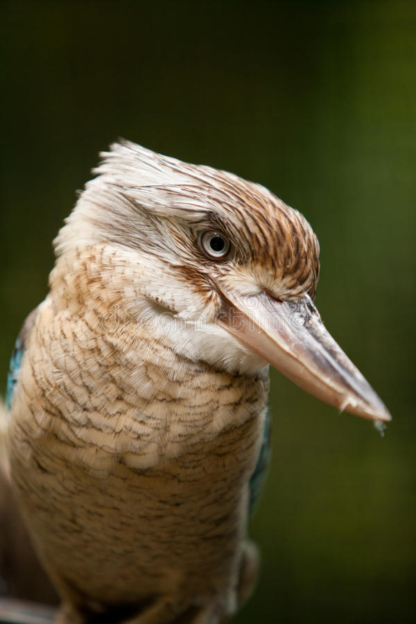 Blue-winged Kookaburra stock images