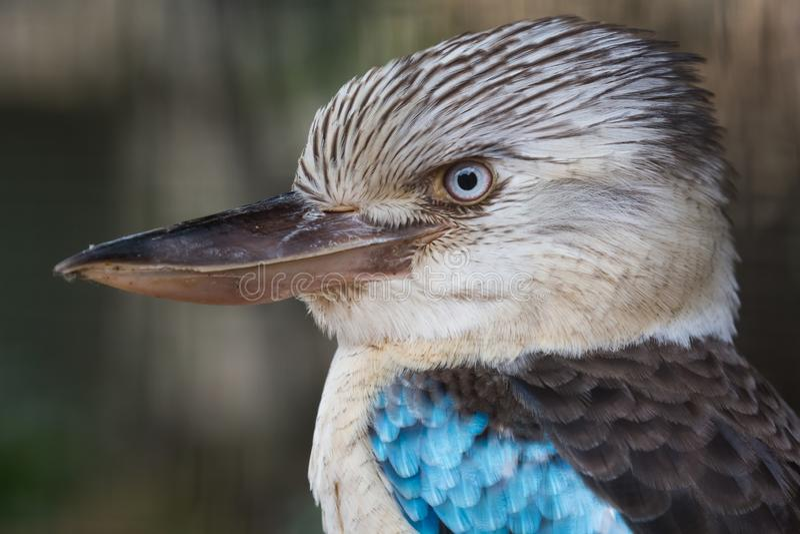 Blue winged kookaburra bird with intense look stock image
