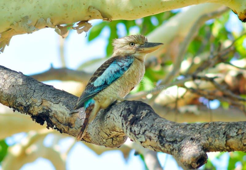 Blue-winged kookaburra royalty free stock photos