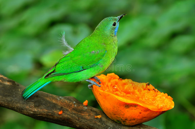 Leafbird blue-winged royalty free stock images