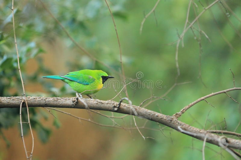 Download Blue-winged leafbird stock photo. Image of bird, nature - 22417988