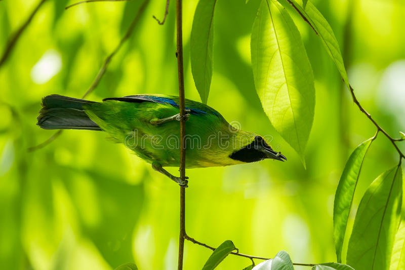 Blue-winged Leafbird(Chloropsis cochinchinensis) royalty free stock photography