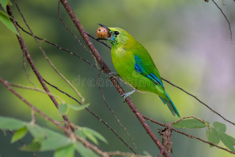 Blue-winged Leafbird eating fruit at Krungshing national park. stock photography