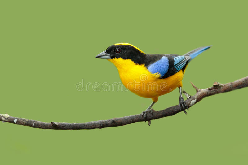 Blue-winged Mountain-tanager, Anisognathus somptuosus, Santa Marta, Colombia. Yellow, black and blue Mountain tanager, sitting on. The branch royalty free stock photos