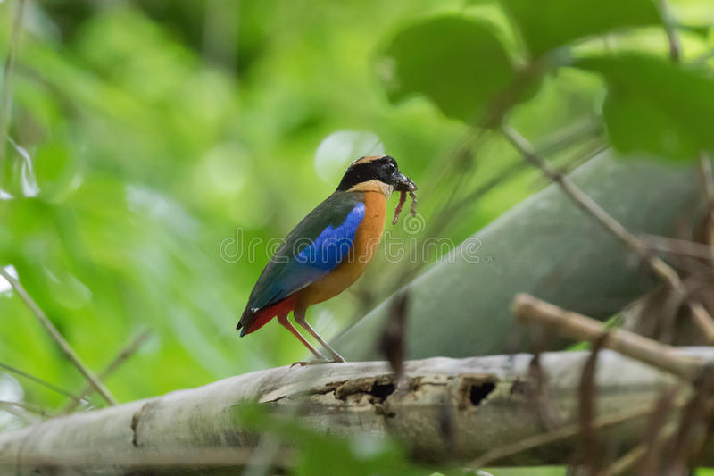 Blue-winged Pitta bird in beautiful brown and blue wing with worm in beaks stock photography