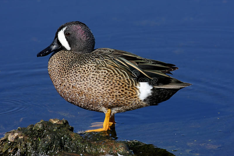Blue-winged Teal. (anas discors) against blue water in the Florida Everglades stock photo