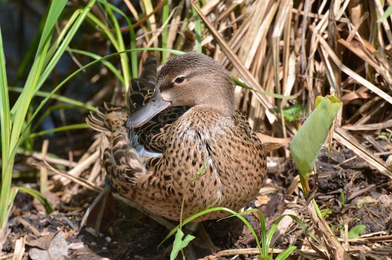 Blue-winged teal royalty free stock photography
