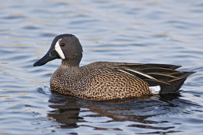 Blue-winged Teal. Male Blue-winged Teal (Anas discors) swimming on blue water royalty free stock photo