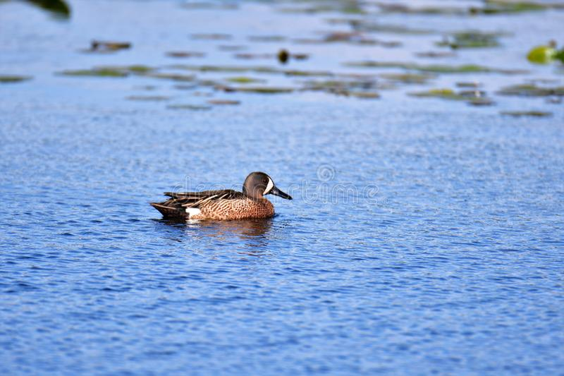 Blue-winged Teal. Burnaby lake BC Canada royalty free stock photography