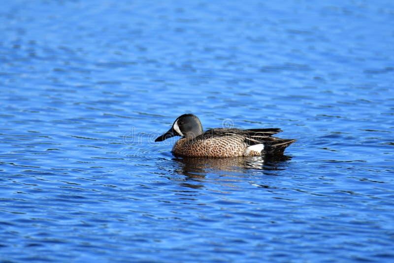Blue-winged Teal. Burnaby lake BC Canada royalty free stock photo