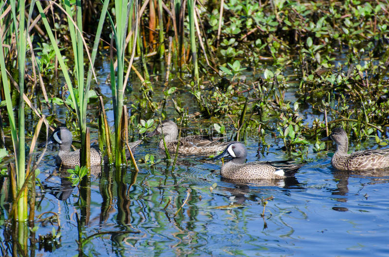 Blue-winged Teal ducks, Savannah National Wildlife Refuge. Blue-winged Teal ducks waterfowl on blue water in Savannah National Wildlife Refuge stock photos