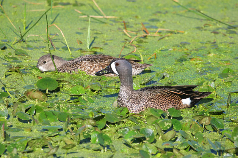 Blue-winged Teal Pair royalty free stock images