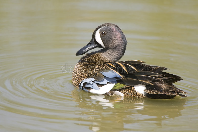 Download A Blue-winged Teal Preening Stock Photo - Image: 6675508