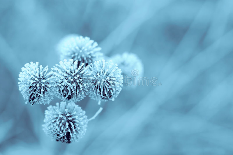 Download Blue Winter Burdock stock photo. Image of christmas, card - 51948