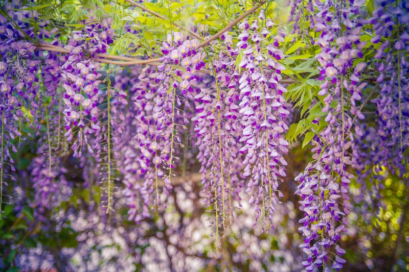 Blue Wisteria blossom on green blurred garden background. Chinese Fabaceae Wisteria sinensis flower. Blooming blue Wisteria. Fabaceae Chinese Wisteria sinensis royalty free stock images