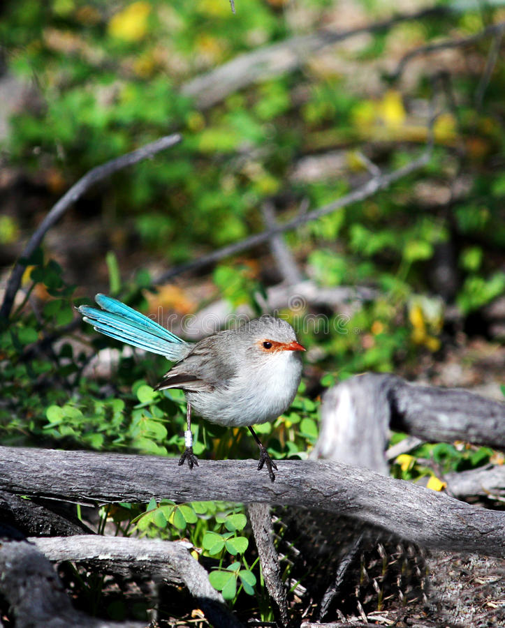 Download Blue Wren Bird stock image. Image of superb, environment - 16303547