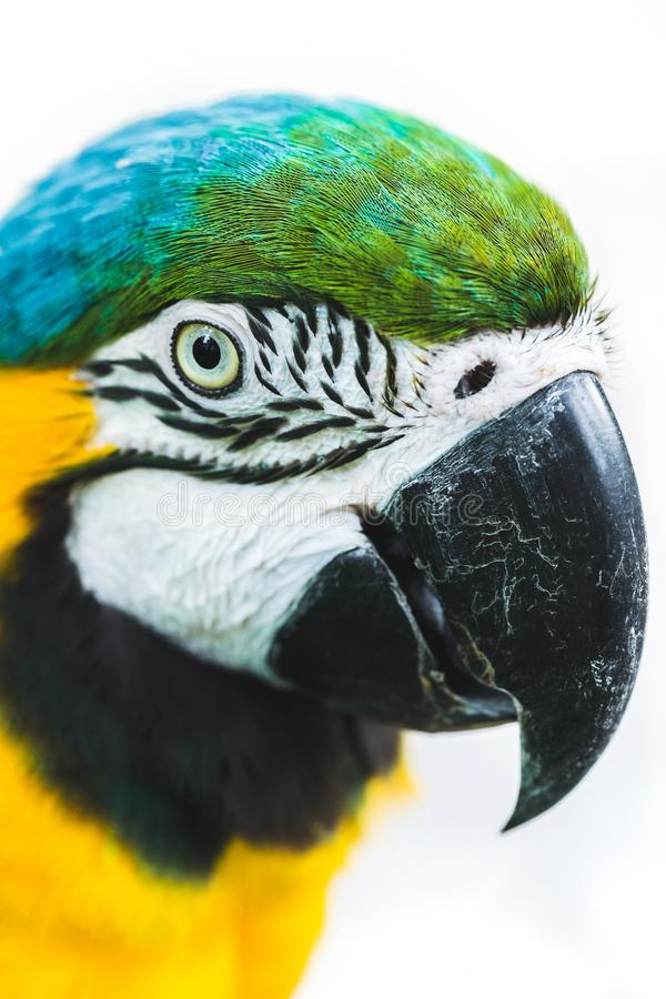 Blue and yellow ara macaw parrot isolated on white royalty free stock photography
