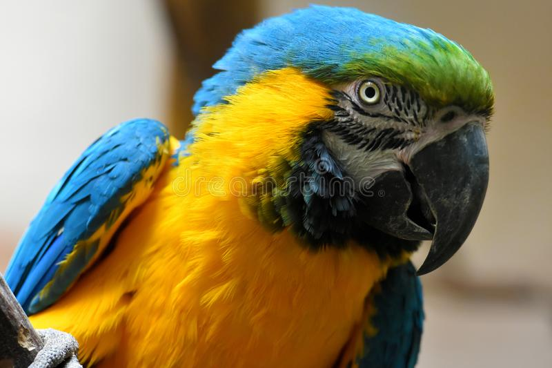 Portrait of a yellow and blue macaw parrot royalty free stock images