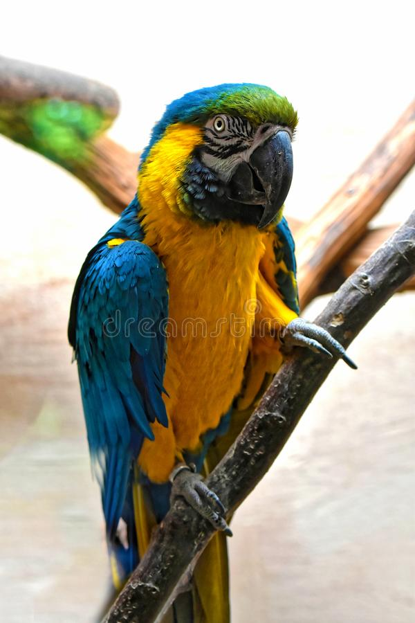 Portrait of a yellow and blue macaw parrot. Blue and yellow ara macaw parrot watching me interested and urgently while I take photos royalty free stock photos