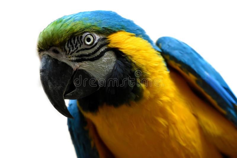 Portrait of a yellow and blue macaw parrot on white. Blue and yellow ara macaw parrot watching me interested and urgently while I take photos royalty free stock image