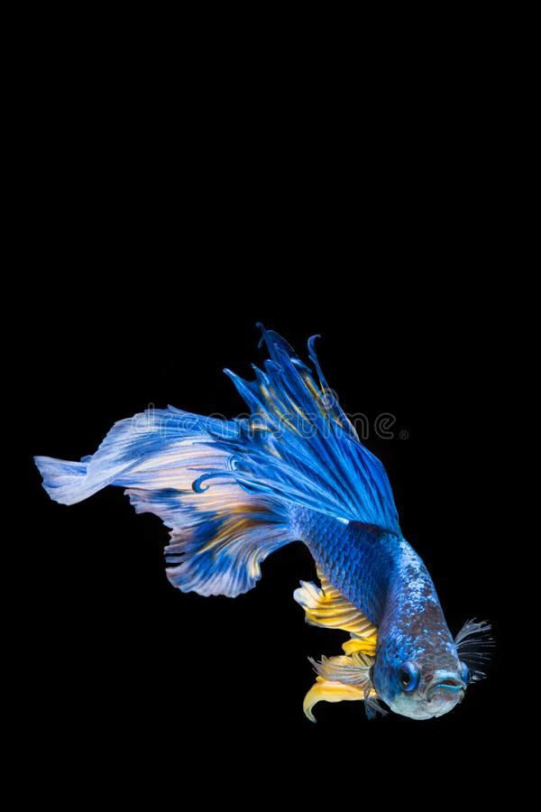 Blue and yellow betta fish. Siamese fighting fish on black background royalty free stock photo