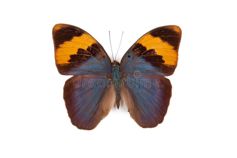 Blue and yellow butterfly Euphaedra neophron royalty free stock image