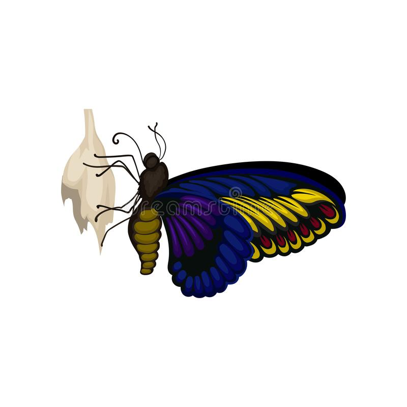 Blue-yellow butterfly on it s cocoon. Flying insect with beautiful pattern on wings. Entomology theme. Flat vector. Blue-yellow butterfly sitting on it s cocoon royalty free illustration