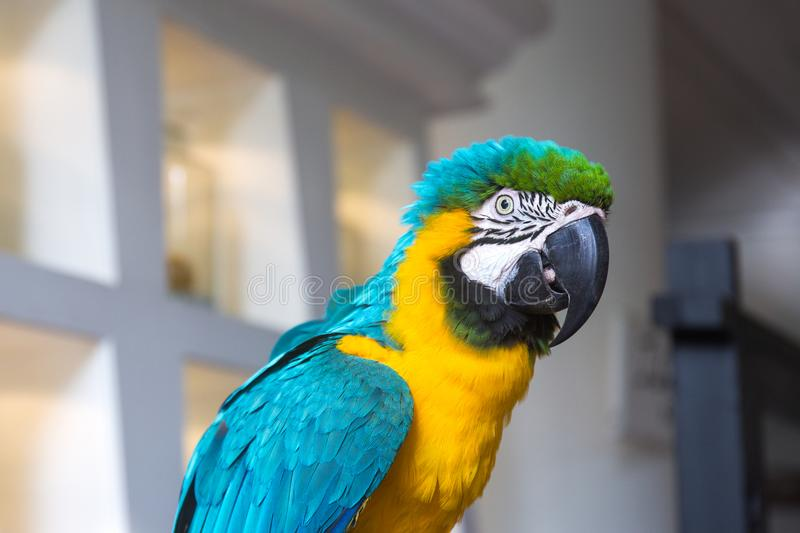 Blue and yellow macaw parrot portrait. Blue and yellow colorful macaw parrot portrait royalty free stock photography