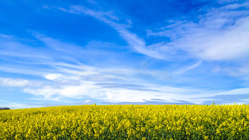 Rapeseed Flowers under a blue sky stock images