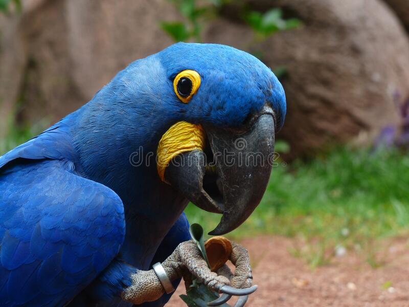 Blue And Yellow Furred Bird Free Public Domain Cc0 Image
