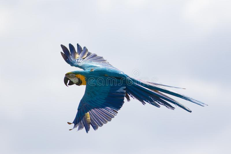 Blue and yellow macaw in flight. Wild parrot flying royalty free stock images