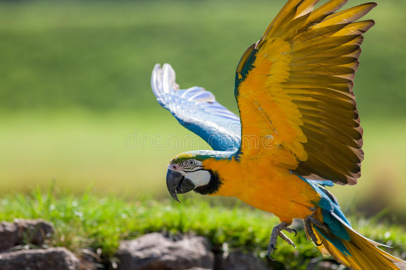 Blue and yellow gold macaw. Beautiful parrot bird flying in cl. Blue and yellow gold macaw Ara ararauna. Beautiful parrot flying in close up. Wild tropical bird royalty free stock photo