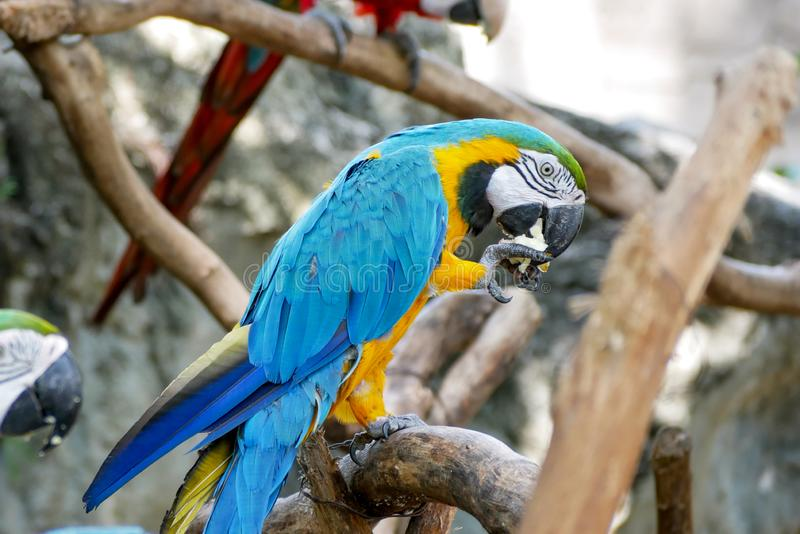 Blue and Yellow Gold Macaw Parrot Beautiful Birds in Zoo royalty free stock image