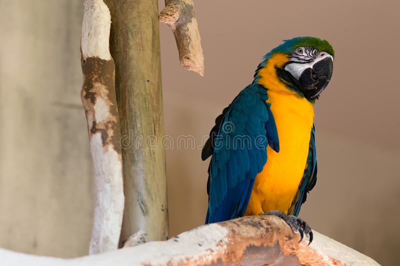 Blue Yellow Gold Macaw Parrot Bird on Tree Branch Looking Right royalty free stock photo