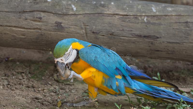Blue and yellow gold macaw parrot royalty free stock image