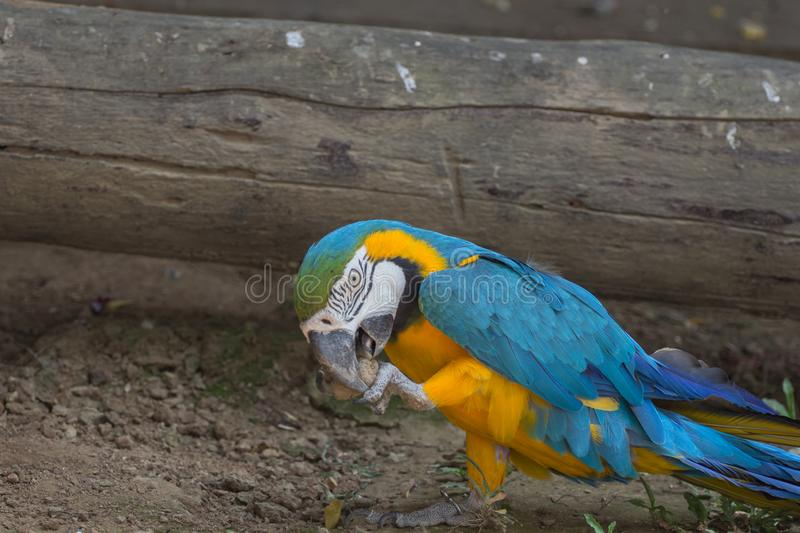 Blue and yellow gold macaw parrot. On the ground in the zoo stock photo