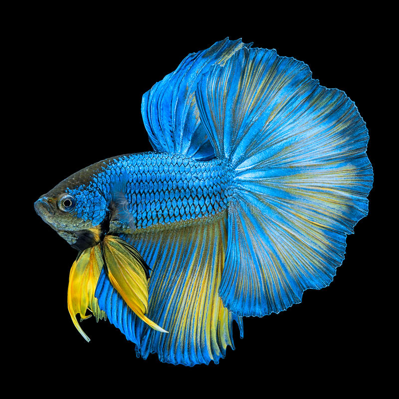 Blue Yellow Long Tail Halfmoon Betta or Siamese Fighting Fish Sw. Imming Isolated on Black Background stock photo