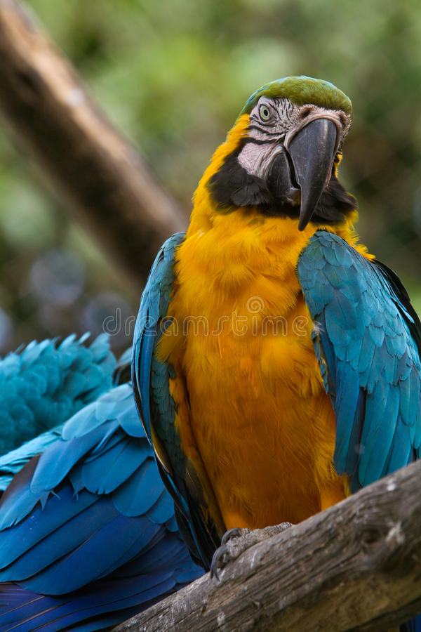 Download Blue-and-yellow macaw stock image. Image of colorful - 15219949