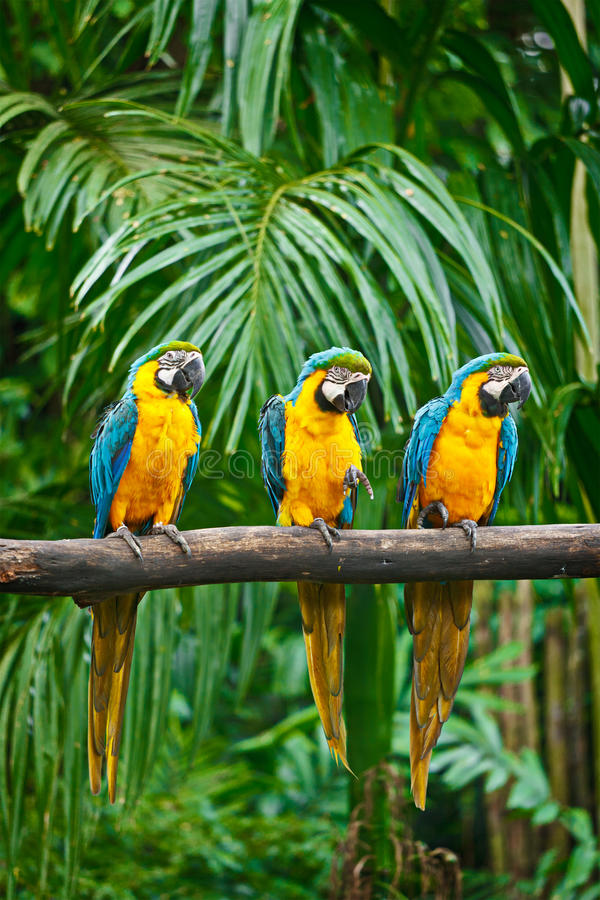 Blue-and-Yellow Macaw. (Ara ararauna), also known as the Blue-and-Gold Macaw royalty free stock images