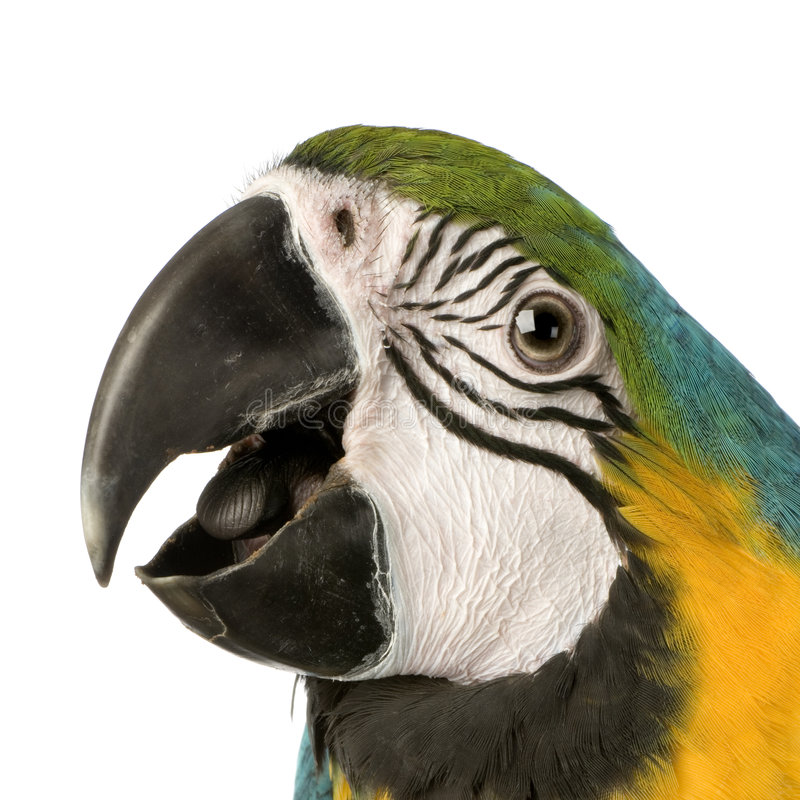 Blue-and-yellow Macaw royalty free stock image