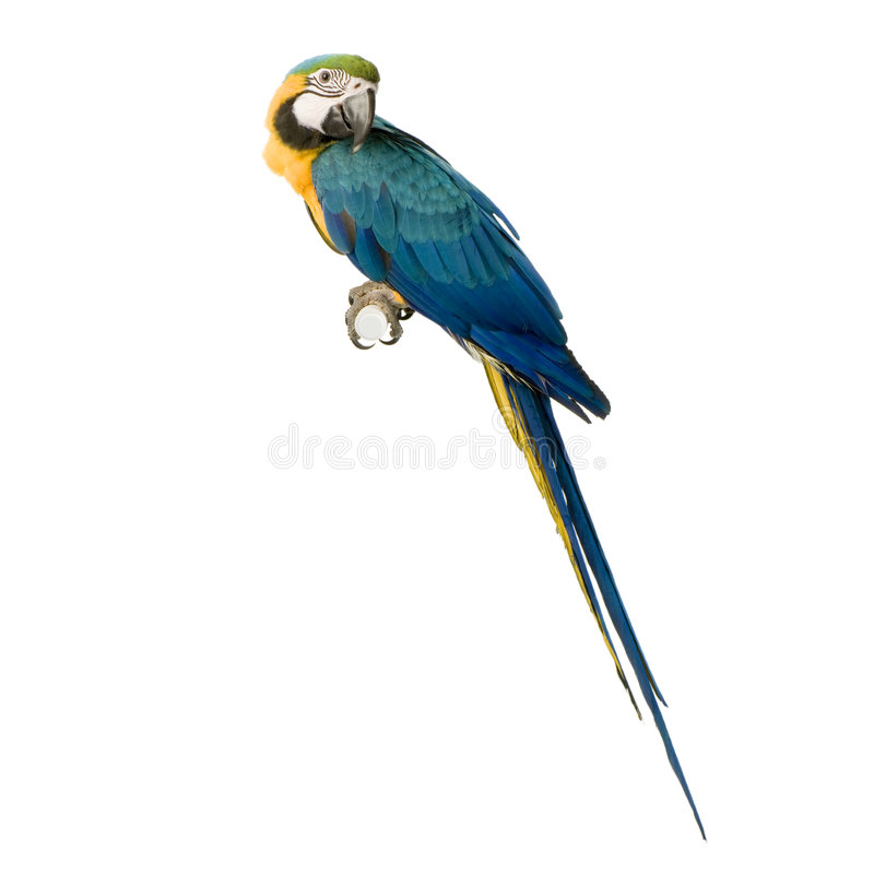 Blue-and-yellow Macaw. In front of a white background stock photography