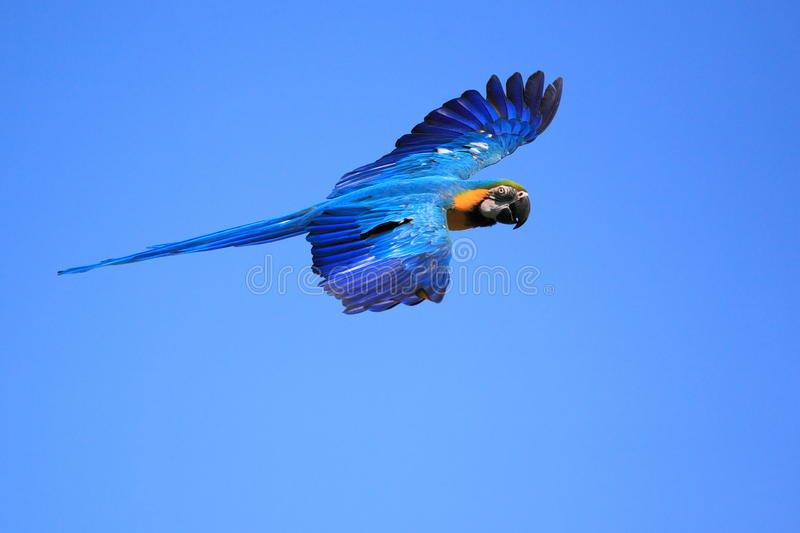 Blue and yellow macaw. The flying blue and yellow macaw stock photo