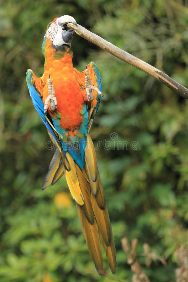 Download Blue-and-yellow macaw stock image. Image of ararauna - 26839715